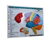 Brain Model & Puzzle