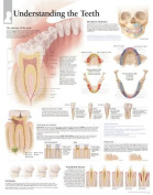 Understanding the Teeth