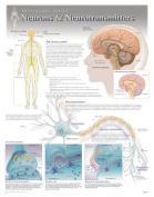 Neurons & Neurotransmitters Wall Chart