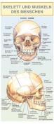 Skelett Und Muskeln Des Menschen [GER]