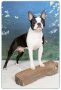 Boston Terrier Cutting Board