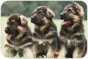 German Shepherd Puppies Tempered Cutting Board
