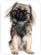 Pekingese Large Tempered Cutting Board 40cm x 30cm x 0.4cm