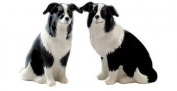 Quail Ceramics Fine China Border Collie Design Salt & Pepper Pots