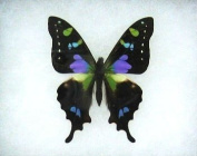 Mounted Purple Spotted Swallowtail Butterfly Table Top Display
