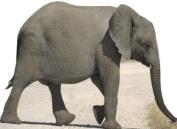 Baby Elephant - Wildlife/Animal Lifesize Cardboard Cutout / Standee / Standup