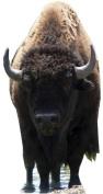 Bison - Wildlife/Animal Lifesize Cardboard Cutout / Standee / Standup