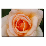 Trademark Fine Art Early Morning Rose by Kurt Shaffer Canvas Wall Art, 60cm x 80cm