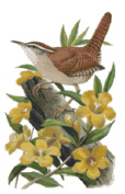 South Carolina State Bird and Flower Carolina Wren and Yellow Jasasmine Counted Cross Stitch Pattern
