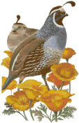 California State Bird and Flower California Quail and Poppy Counted Cross Stitch Pattern