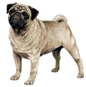 Pug Dog Counted Cross Stitch Pattern