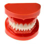 Dental Teaching Study Model Adult Standard Typodont Demonstration