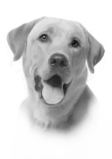 Labrador Drawing Print Picture.