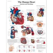 3B Scientific The Human Heart Chart Laminated Version