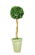 Galt International Naturally Preserved Real Boxwood Ball Topiary Plant with Twig Stem and Restoration Style White Pot, 50cm