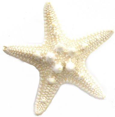 Real Starfish Hair Clip Beach Bridal Sea Shell Mermaid Boho Festival Wedding Exclusively Sold By Starcrossed Beauty g44