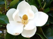 Magnolia 30ml Fragrance Oil