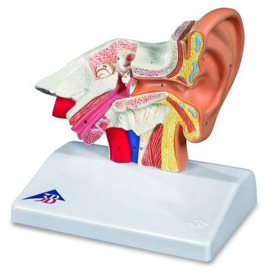 3B Scientific Desktop Ear Model 1.5 Times Enlarged