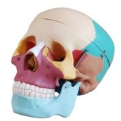 Human Skull Anatomical Anatomy Skeleton Medical Model & Coloured Bones Life Size Two Sets
