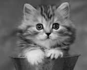 Playful Baby Kitten / Cat 8 x 10 GLOSSY Photo Picture * Black & White *