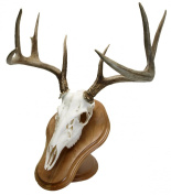 Walnut Hollow Country Deluxe Euro Skull Display Kit, Cherry