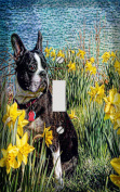 Boston Terrier in Daffodils Decorative Switchplate Cover