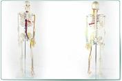 Doc.Royal Portable Mini 85cm High Heart Blood Vessel Human Skeleton Anatomical Model