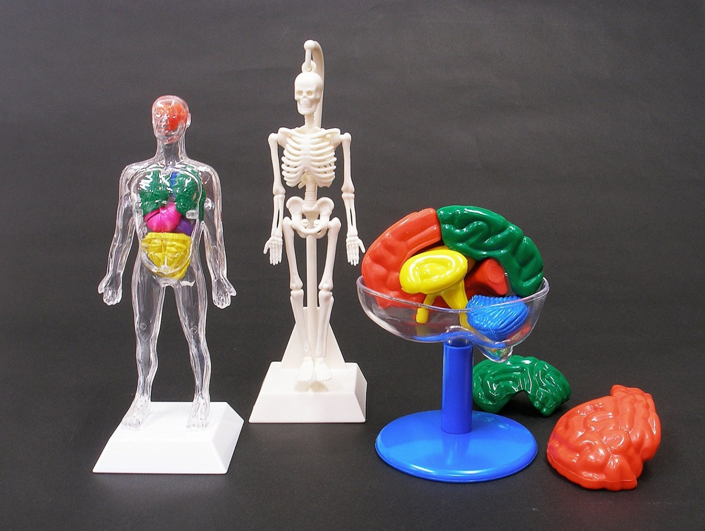 Human Body Model Toys: Buy Online from Fishpond.co.nz