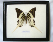 Real butterfly naturalised framed - Giant Swordtail Butterfly (Graphium androcles) (70005) - Wall decor imported from Thailand