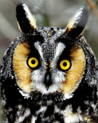 Owl / Bird 8 x 10 GLOSSY Photo Picture IMAGE #16