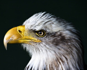 Eagle / BIRD 8 x 10 GLOSSY Photo Picture IMAGE #7