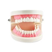 Miss.AJ Dental Study Teaching Teeth Model Adult Typodont Model Removable Tooth