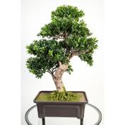 "Artificial Boxwood Bonsai in planter, 550 leaves, 26"" / 65 cm - Silk Bonsai / Bonsai Replica - artplants"