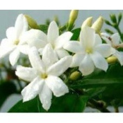 Frangipani Flower - 1933 - Fresh and Delicate - Candle & Soap Fragrance Oil - 4 Oz (120 ml) - High Performance Supplie - Special Promotion.