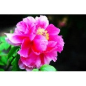 Peony Blossom - 1930 - Candle & Soap Fragrance Oil - 4 Oz (120 ml) - High Performance Supplie - Special Promotion.
