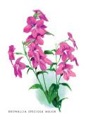 Buy Enlarge 0-587-03636-2P12x18 Browallia Speciosa Major- Paper Size P12x18