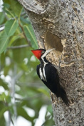 Panoramic Images PPI125264 Crimson Crested woodpecker Three Brothers River Meeting of the Waters State Park Pantanal Wetlands Brazil Poster Print by Panoramic Images - 16 x 24