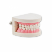 Denshine 1 Piece Teeth Tooth Teach Model Dental Dentist Flesh Pink Gums Standard Teeth Tooth Teach Model