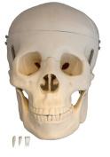 Scientific Anatomical Model : Life Size Human Skull Model