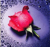 Home Decoration 5D DIY Printed Needlework Sets Counted Cross Stitch Kits Embroidery Kits, Red Rose with Dew