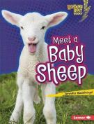 Meet a Baby Sheep
