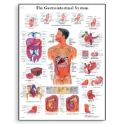 3B Scientific Human Anatomy - The Gastrointestinal System Chart, Paper Version
