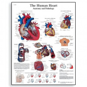 3B Scientific Human Anatomy - The Human Heart Anatomy and Physiology Chart, Paper Version