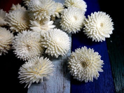 18 Chrysanthemum Balsa Wood Sola Diffuser Flowers 4 cm Dia.