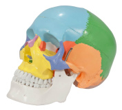 Axis Scientific 3-Part Life-Size Painted Didactic Human Skull