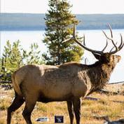 AMERICAN WHITETAIL Infinity Target Face Elk 18x18