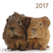 A&I Guinea Pigs 2017