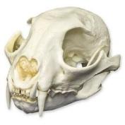 Canadian Lynx Skull