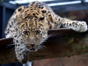 Jaguar / Wild Cat 8 x 10 / 8x10 GLOSSY Photo Picture