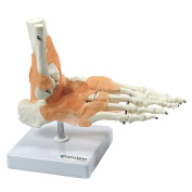 S24.3445 Anatomical Human Foot Joint With Ligaments